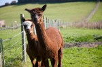 William & George the alpacas