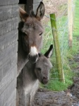 Holly the baby donkey born just before Christmas 2012