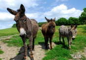 Donkeys at Nettlecombe Farm